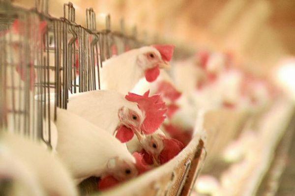 China abre processo antidumping contra frango brasileiro